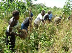 harvesting peacemothers farm in Moyamba